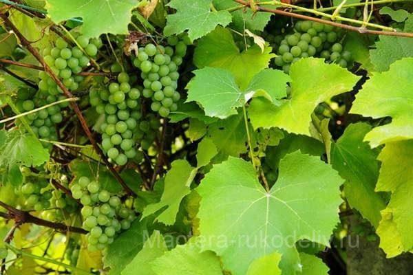 Листья винограда на виноградной лозе
